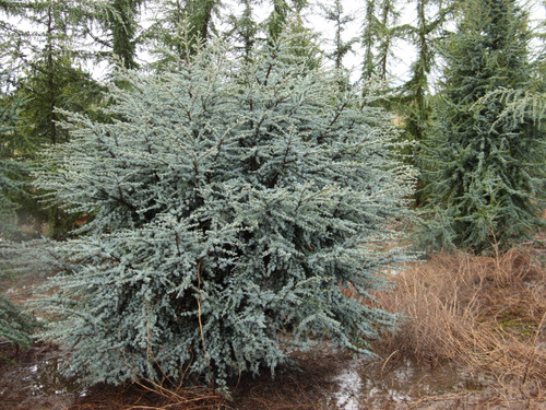 Many Atlas cedars have bright blue foliage, but this is one of the best. A fairly narrow and upright tree that is quite slow-growing. An introduction from Horstmann Nursery in Germany.