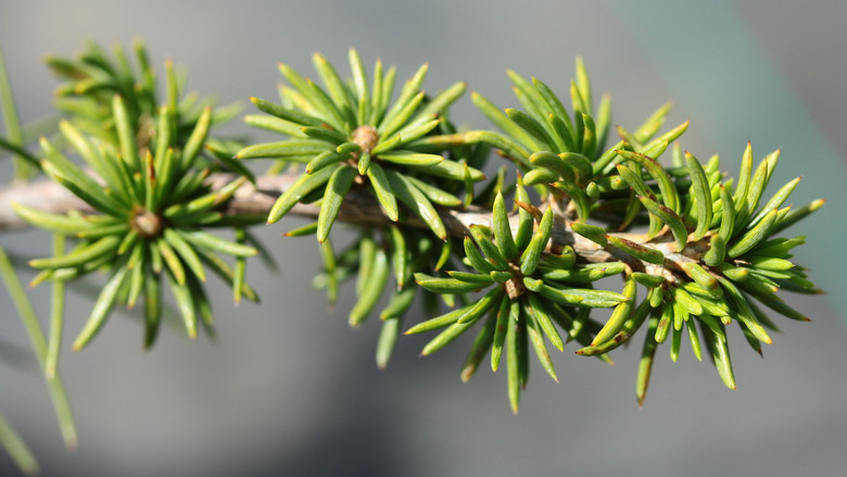 A fairly slow-growing cedar with light-green foliage and a dense but irregular form.
