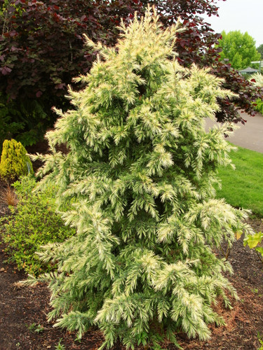 A rather dense, slow-growing cedar with long, blue-green needles that emerge pure silvery-white in spring! An introduction from Canada that has stunning color but doesn't perform well when grown in a container.