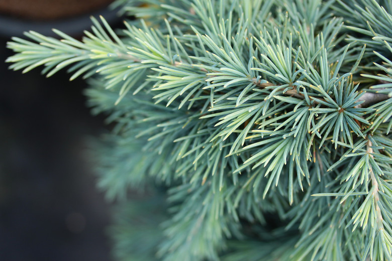 A low-growing form of the Himalayan Cedar with dense, bluish foliage. Creates a mounding/spreading form with age.