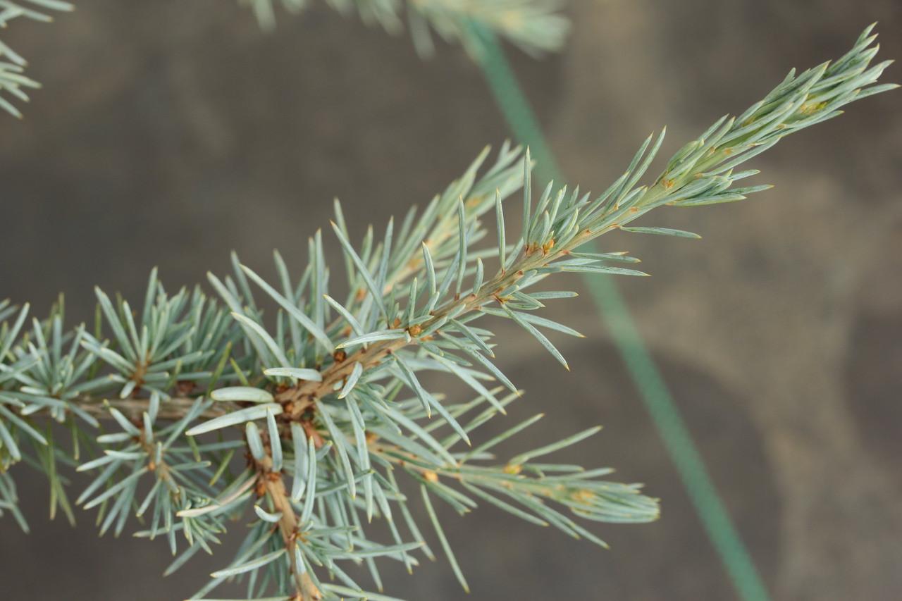 Cedrus deodara 'Eisregen' _ Himalayan Cedar _