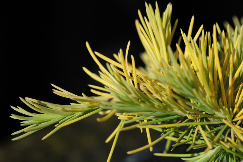 A slow-growing and mounding cedar with bright golden foliage. Creates the appearance of a golden fountain.