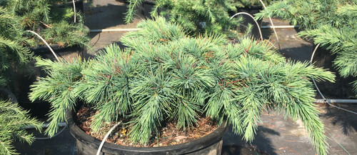 Long, bright-green foliage is very dense on the horizontal branches of this dwarf cedar. One of the slowest-growing Lebanese Cedars available!