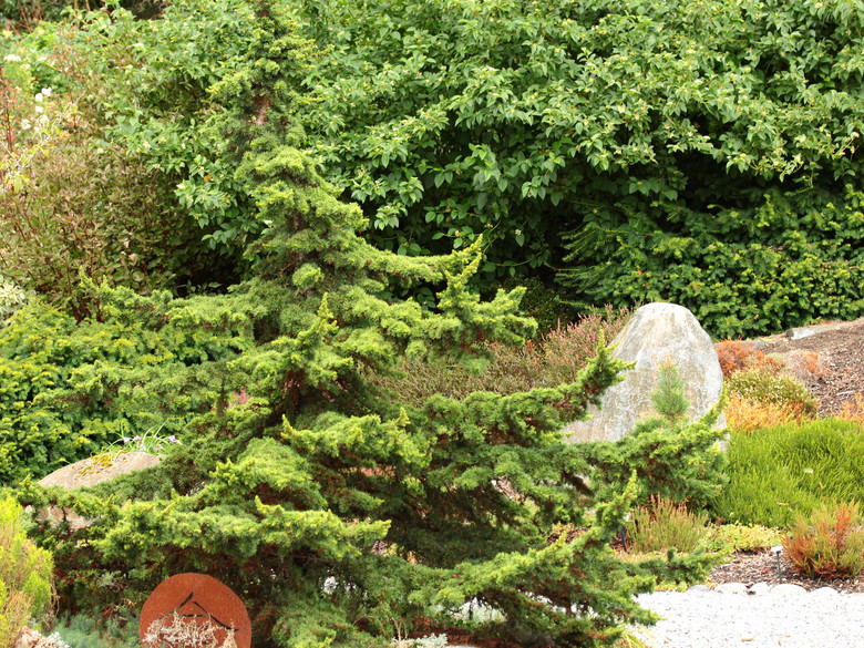 Tiered branching has a natural bonsai aesthetic. The stout structure and dwarf growth rate make this upright tree a very desirable centerpiece for a small landscape.