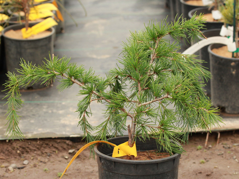 This mounding to weeping cedar has incredibly steel blue foliage. Its dwarf growth rate and dense, mounded habit make it an ideal plant to fill in an open area of a bed or below a window where something low-growing is needed.