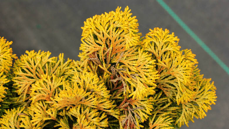 Yellow or yellow-green fan-shaped foliage turns orange-bronze in winder and does not burn in full sun.