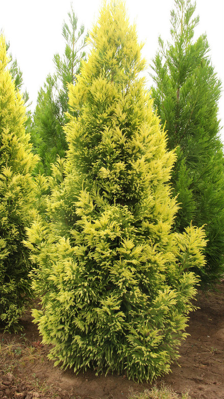 New growth emerges with a beautiful yellow-white color, contrasting nicely with the dark-green color of the older foliage. This cultivar develops into a broad, upright tree.