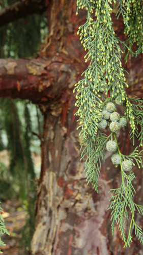 A fairly fast-growing tree with grayish, blue-green foliage. It is believed to be a hybrid between Cupressus arizonica var. glabra and Cupressus nootkatensis. As it ages, the drooping branches look nice with the orange-brown, somewhat exfoliating bark.