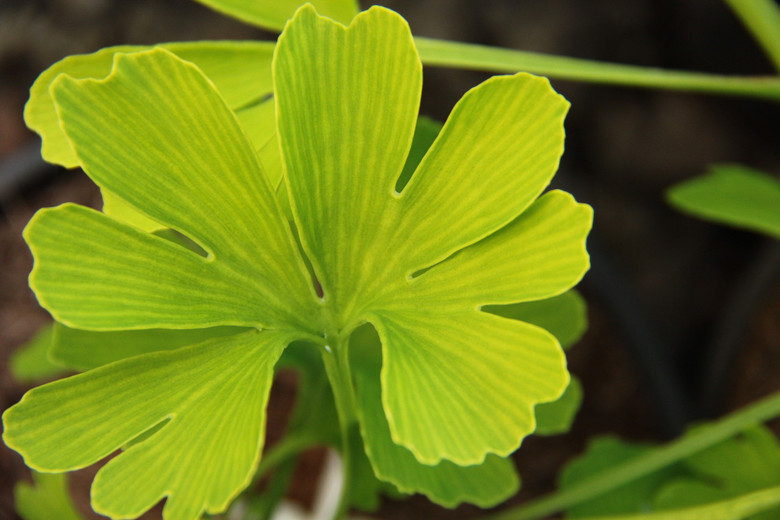 This outstanding ginkgo has the most distinct leaf venation of all. The lighter-colored lines give the appearance of zebra stripes! Also unique is the fact that the leaf is very large and has multiple lobes unlike the typical two-lobed leaves.