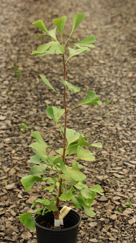 This slow-growing narrow Ginkgo was found as a witch's broom. Its narrow form and slow growth rate make it a very nice cultivar.