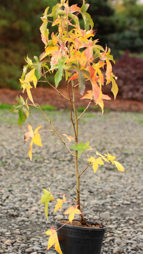 Leaves on this sweet gum have the appearance of being dusted by a bright golden-yellow variegation. A uniquely patterned and beautifully-colored tree.