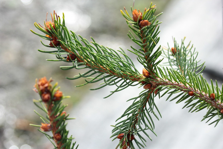 A fast-growing spruce with dark-green foliage and an open, irregular habit. Mature trees look something like giant sea monsters!