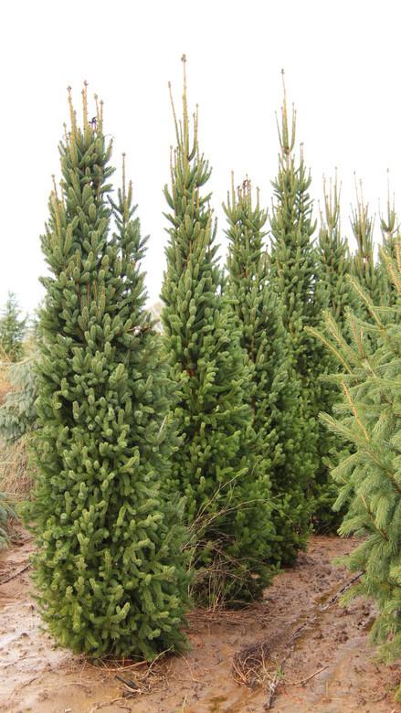royalstar_Picea abies Cupressina Norway Spruce | Conifer Kingdom
