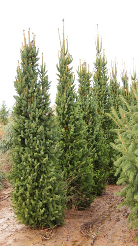 A columnar form with dark green foliage. Stiff branches held close to the trunk allow this cultivar to withstand snow load better than most columnar evergreens.