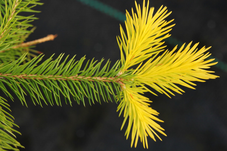 The weeping habit of this golden spruce is very much like that of 'Formanek'. Gracefully-cascading branches can spill over rocks or ramble along the ground, creating a lush yellow carpet. Older plants have a tendency to decorate themselves in magenta cones like that of its parent, 'Acrocona'.
