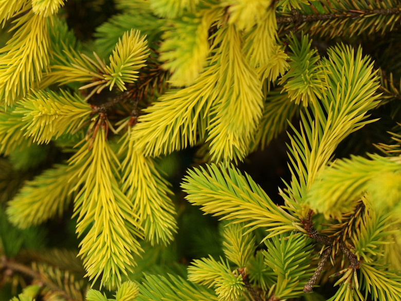 This pyramidal spruce was found as a result of crossing Picea abies 'Acrocona' with Picea abies 'Gold Drift' by Bob Fincham. This particular seedling has an open-branching habit and wonderful golden coloration, especially in winter.