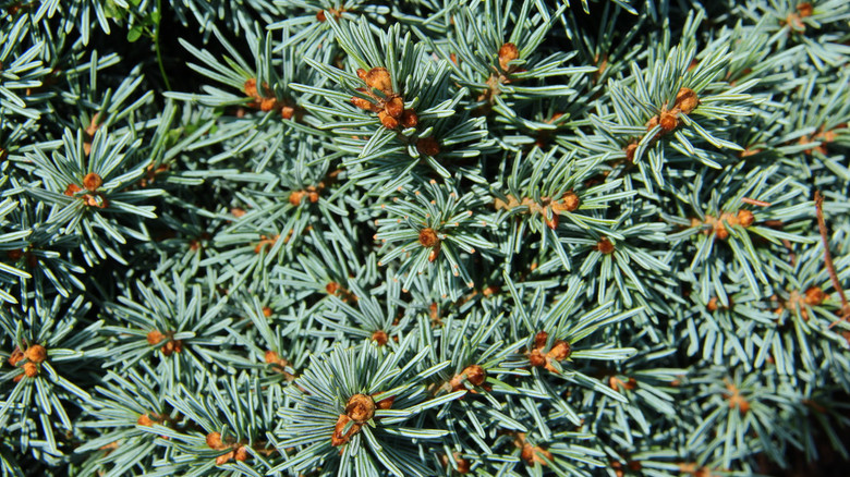 Rich, blue foliage has silvery stripes, giving a wonderful sheen to this semi-globose dwarf. Prominent orange-brown buds add wonderful contrast to the foliage. A remarkable plant that really stands out in any landscape.