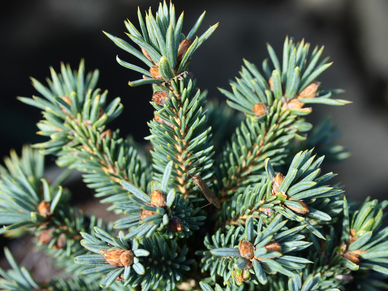 This very small spruce has silver-blue needles on a dense bun. The round orange-brown buds add a nice color contrast especially in the winter. An excellent rock garden selection.