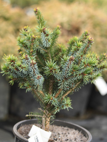 A compact pyramidal spruce with blue-green foliage. Introduced by Horstmann Nursery in Germany and named for Elisabeth Horstmann.