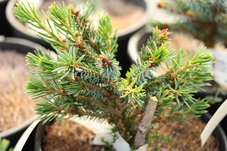 A tidy little dwarf with light, two-tone foliage. Develops a low pyramidal or globose habit as it matures. One of the slower-growing varieties of Serbian spruce.
