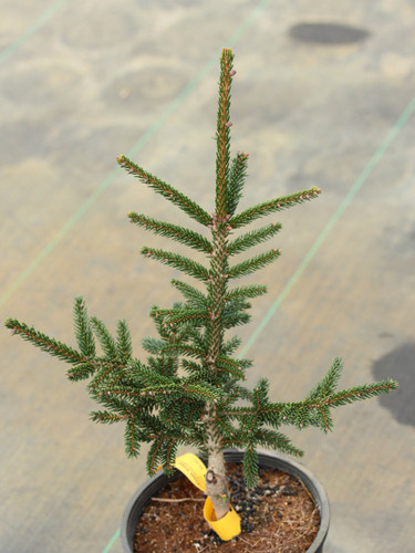 Dark-green needles that have a grayish cast and pointed, tan-brown buds are distinguishable characteristics of this slow-growing spruce.