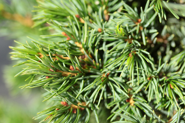 Thick, clumpy foliage on this dwarf spruce is a glossy, dark-green color. The arrangement of the needles allows the silvery-blue undersides to be seen. This pyramidal, dwarf conifer develops into a dwarf, compact tree with age.