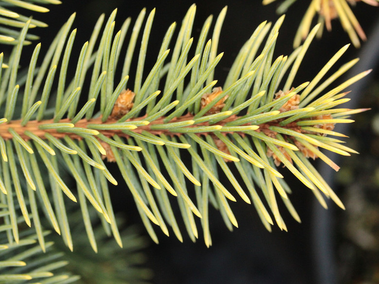 This upright, pyramidal spruce will develop as the species but with fantastic golden foliage that turns more of a subdued yellow color in the autumn.
