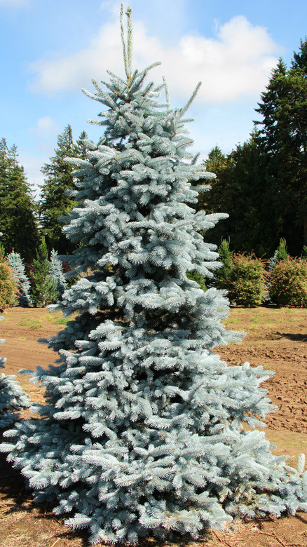 "The archetypal ""blue spruce."" Conical form with fantastic sharp powder-blue needles. One of the most blue varieties."