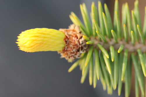 This uncommon spruce may be properly written as 'Gwiazdor'. Fairly slow-growing with light-colored foliage.