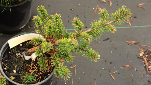 This dwarf, spreading form of Jack Pine has a rich dark-green color. Its unique form and slow growth rate make it an excellent rock garden selection! More commonly known incorrectly as Pinus sylvestris 'Skjak Flach'.