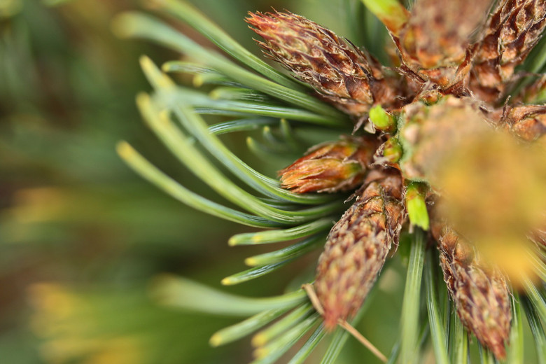 A very slow-growing variety of Limber Pine, found as a witch's broom by Jerry Morris, having short gray-green needles.