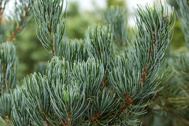 Needles are similar in color and size to the Japanese white pine - Pinus parviflora. Grows quickly and cones profusely. More accurately known as Pinus fenzeliana.