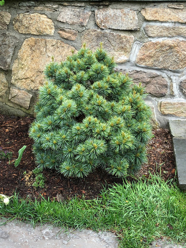 This slow-growing dwarf Korean Pine will form a dense, bright-blue ball.
