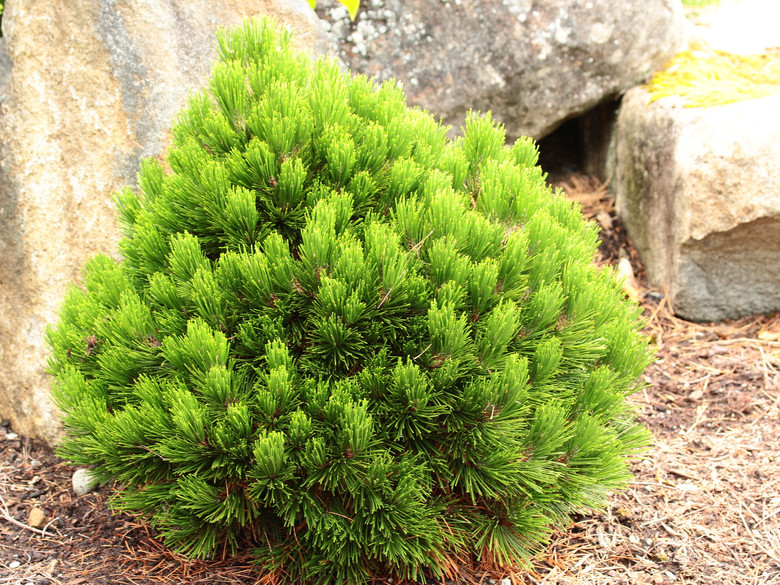 This dense, globose selection of Bosnian pine has a wonderful rich green color and short needles that form a cup at the branch tips. A wonderful, slow-growing selection, perfect for a rock garden.