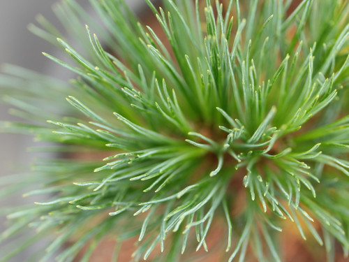 Silver-blue needles give this compact, pyramidal pine a soft texture. May actually be a cultivar of Pinus strobiformis.