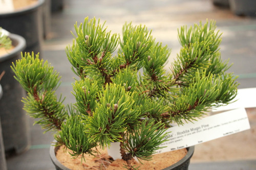 A very slow-growing and compact variety of pine with short, dark-green needles. Develops into a rather spreading plant with branches that tend to point upward.