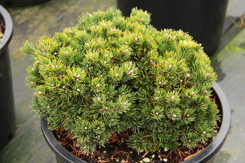 Pinus mugo 'Rodda' _ Mugo Pine _