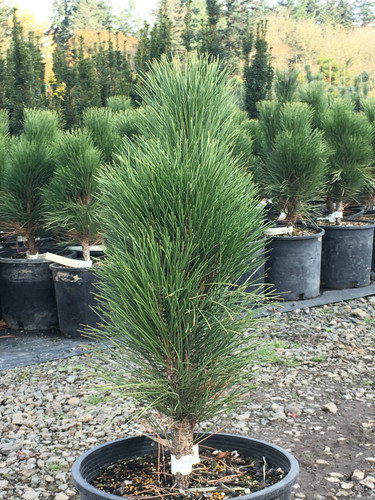 Dark-green foliage on this narrow, upright pine is very dense. The large, whitish buds in winter and early spring look very handsome among the needles.
