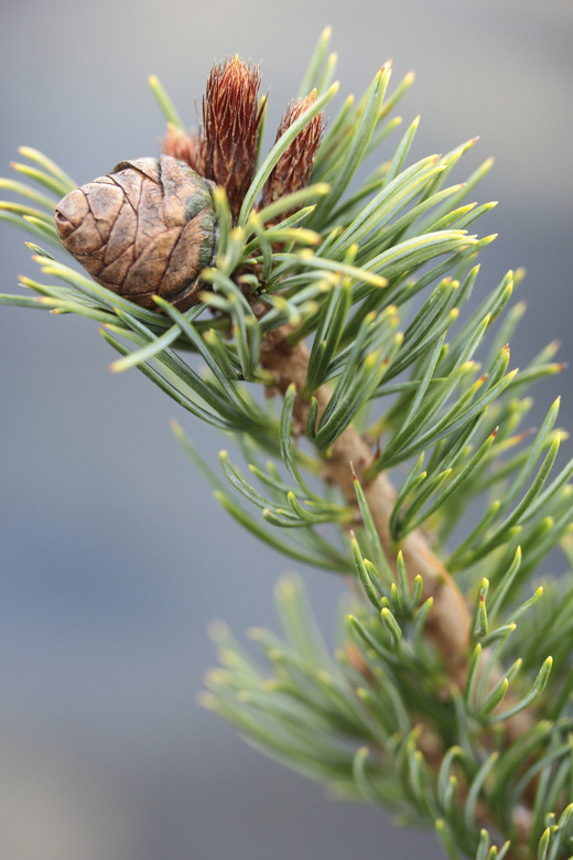 Short, blue-green needles are accented by plentiful prominent cones at each branch tip. A fairly narrow, slow-growing pine with a delightful form and texture.