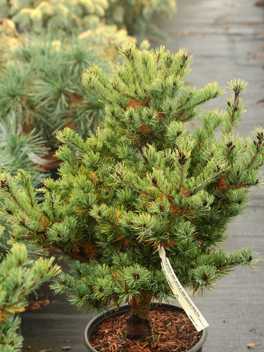 Short, light, silver-green needles on this dwarf, pyramidal upright pine are soft to the touch. Raised as a seedling by John Proudfoot of Scotland.