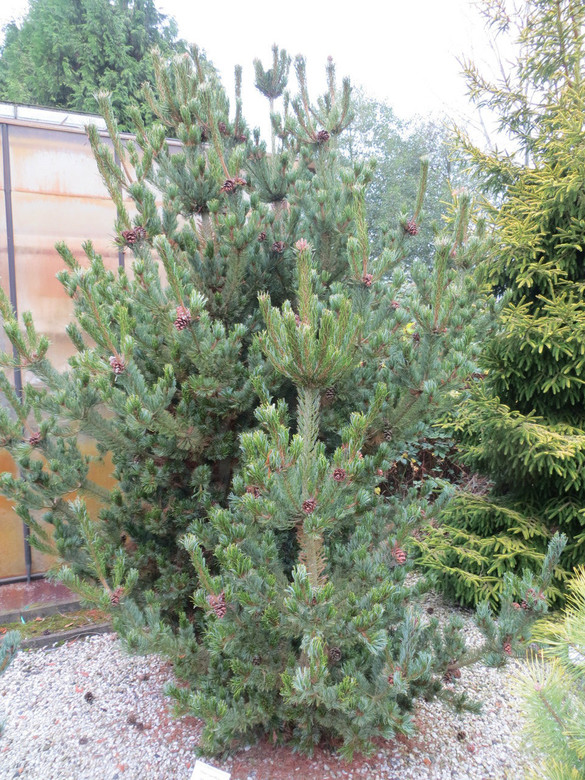 Short, deep blue-green needles are soft to the touch on this dwarf, upright pine. Needles have a slight twist at the tips, making this pine even more attractive..