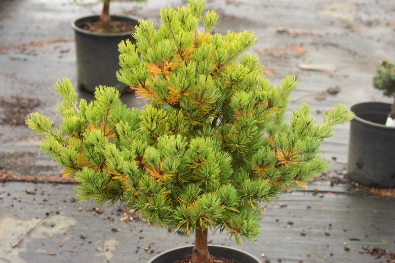 Short, light-green foliage is densely-arranged on the compact branching of this slow-growing, bonsai-like selection.
