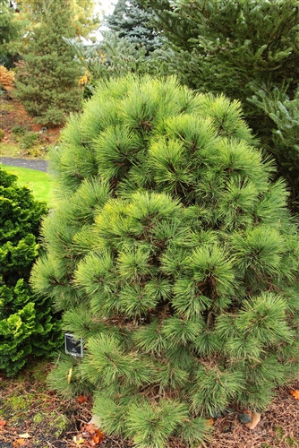 Incredibly long needles on this dwarf Ponderosa pine make it a distinctive pine that grows much slower than the species.