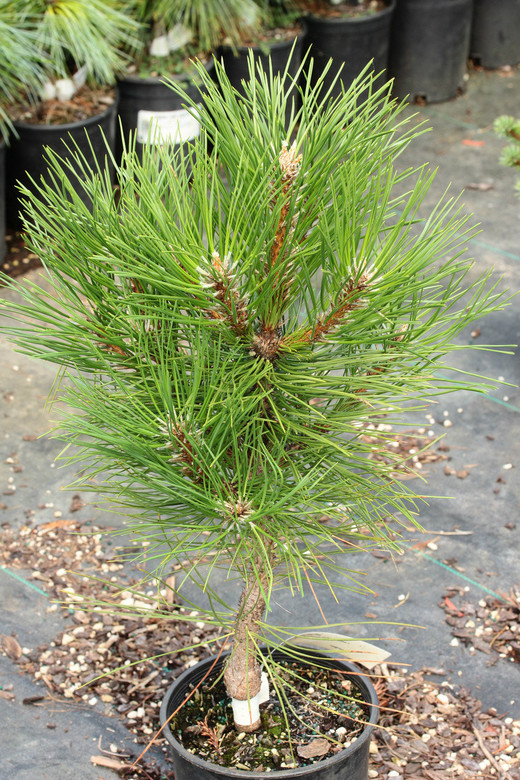 Long, dark-green needles and a mounding dwarf form make this slow-growing pine look like a thundercloud. A very handsome yet small pine.