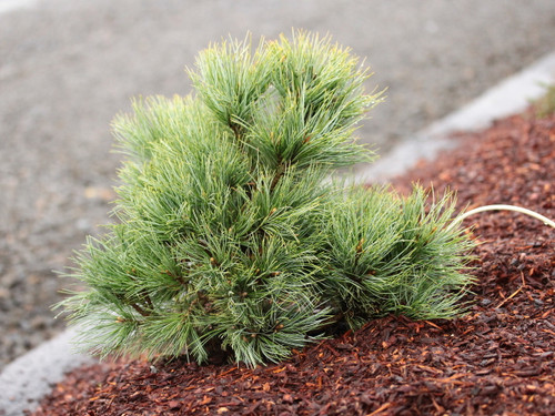 This dwarf pine was discovered as a witch's broom by Dr. Frank Telewski of Michigan State University. Its brilliant, lush, silver-blue needles drape gracefully from the branches. A very rare selection that is equally beautiful!