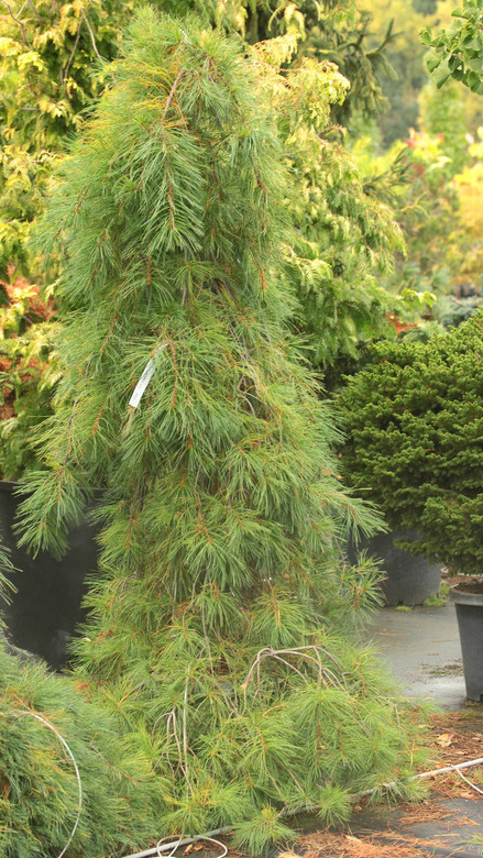 Silvery, blue-green needles are very thin and droop from the graceful branches of this narrow conifer. A choice, colorful, and elegant selection that was found as a seedling of 'Pendula'.