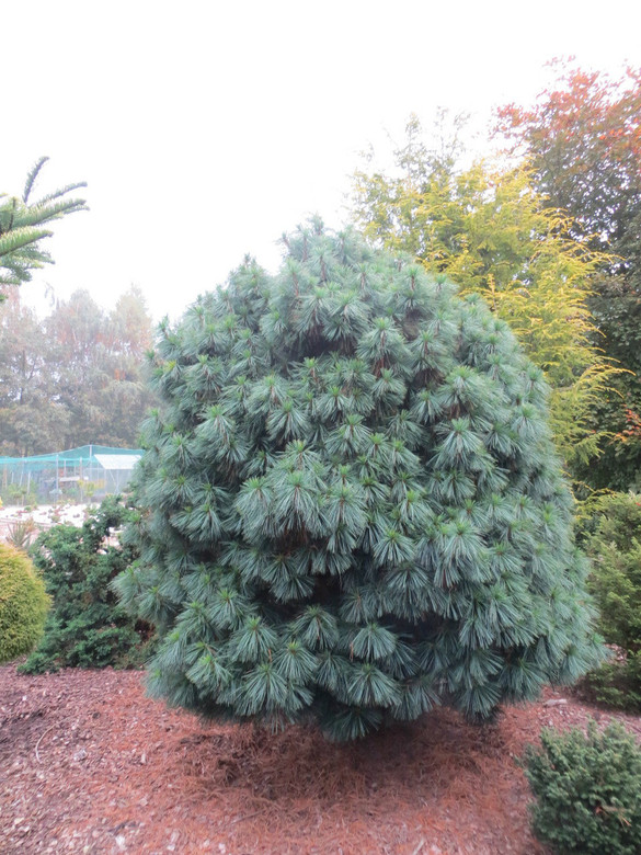 Long, thin needles have a blue-green color and a soft texture. A lovely, pyramidal pine that grows fairly slowly.