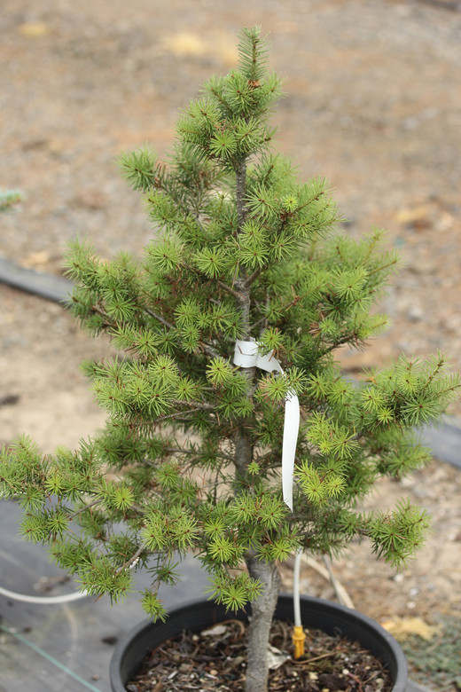 This dense, slow-growing, pyramidal conifer has gray-green foliage. Its compact, upright form make it a handsome dwarf conifer and an excellent choice for smaller gardens.