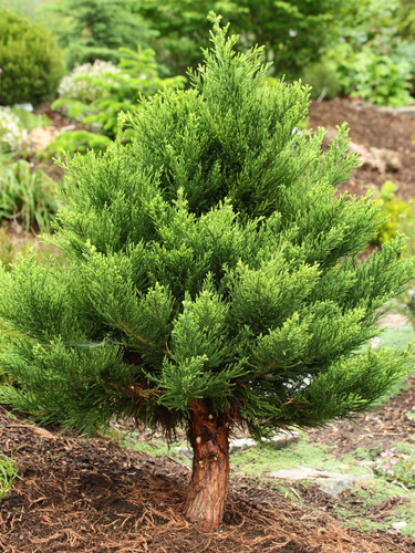 This cultivar of giant sequoia is truly a dwarf. Although this nomenclature seems to contradict the plant's name, it is a nice way to view an ordinarily-large tree on a small scale. The bluish-colored foliage is a nice soft hue which contrasts nicely with the rust-orange bark.