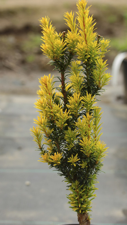 A slow-growing, very dense and narrow upright yew with bright, golden-yellow foliage. One of the most compact but colorful varieties available.